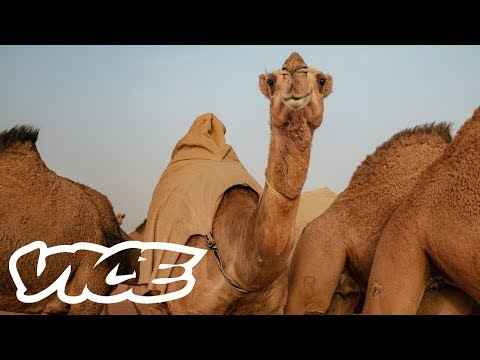 Camel Racing in Saudi Arabia: A Million Dollar Industry