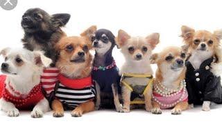 Вся одежда моих собак ( с AliExpress и из зооМагазина ) одежда для таксы и маленькой собачки