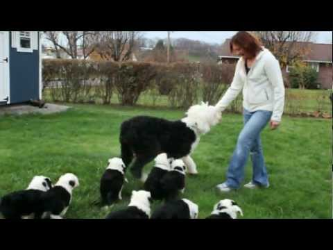 Old English Sheepdog Matilda and Her Puppies