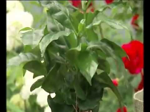 Домашнее кофейное дерево.avi - YouTube