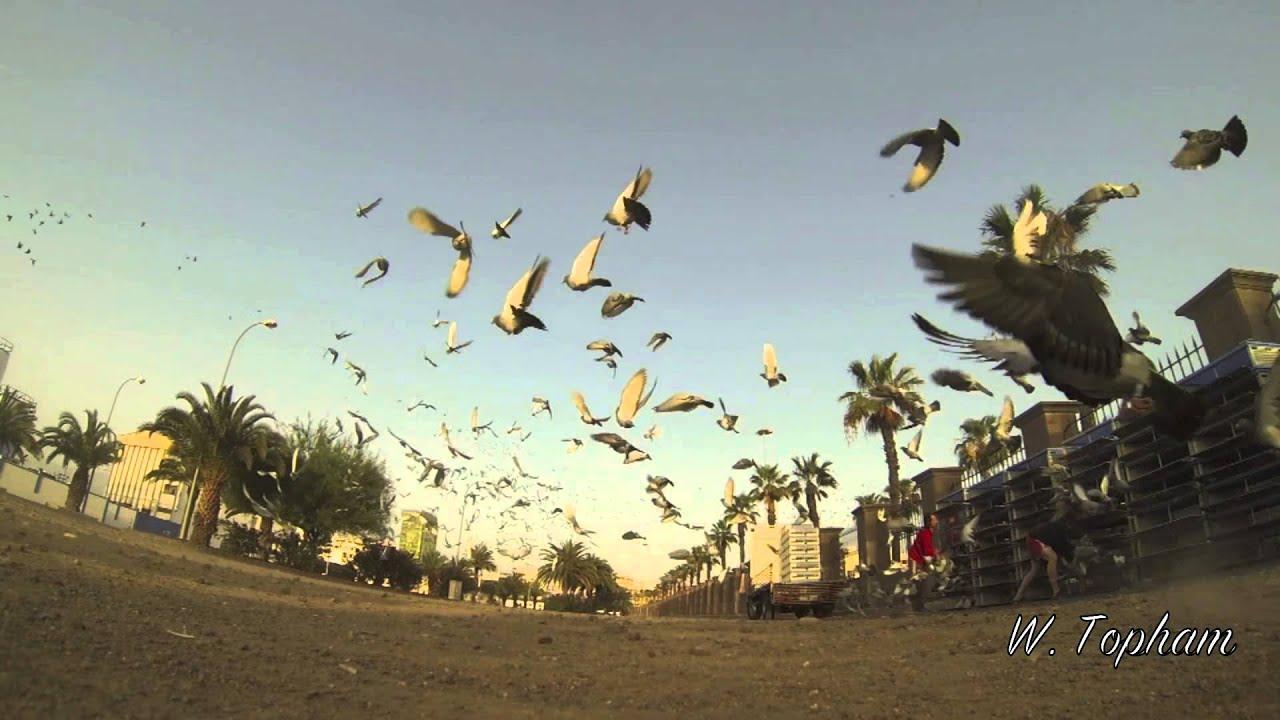 suelta palomas mensajeras gran canaria tenerife 21 abril