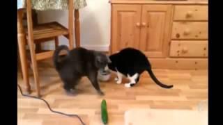 Коты не любят огурцы!!!