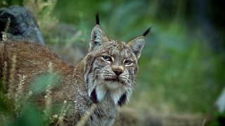Blue Buffalo Wilderness Cat Food | Lynx Spirit