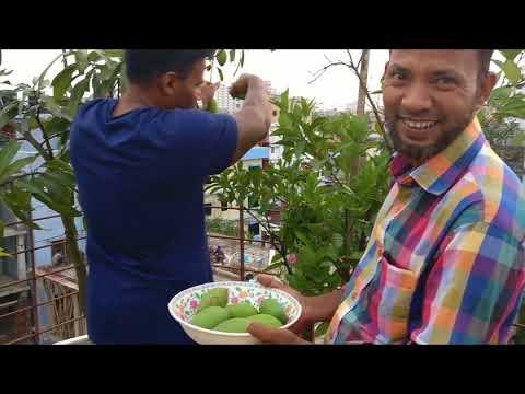 Rooftop Garden Mango & Lemon picking