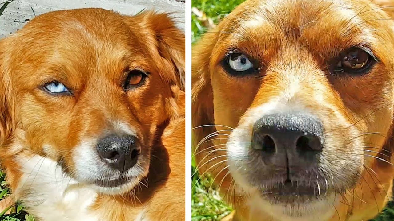 Dog with two different color eyes! - YouTube