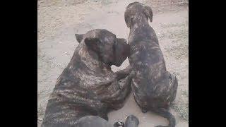 О породе, собака кане-корсо, смотреть фильмы  про  любовь к породе  кане-корсо амиго