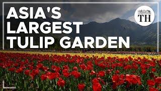 Asia's largest Tulip Garden in Kashmir