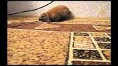 Именно поэтому при покупке мы изначально искали вислоухого кролика барана (какой кайф называть его по имени, когда в 4 утра он решил вырыть в клетке нору. После долгих уговоров и моего нытья, молодой человек согласился купить кролика))сразу купили клетку, корм и остальные принадлежности).