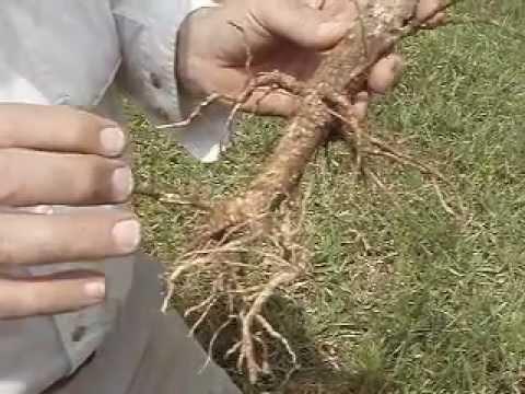 Evaluating failed Jatropha plantation in Ghana.mp4