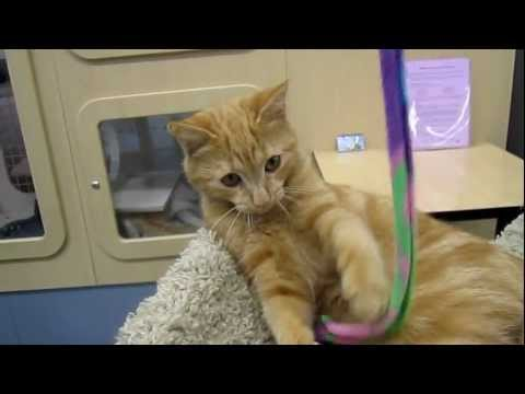 BB - 4 1/2 month old female orange tabby kitten - Peninsula Humane Foundation @ PetCo