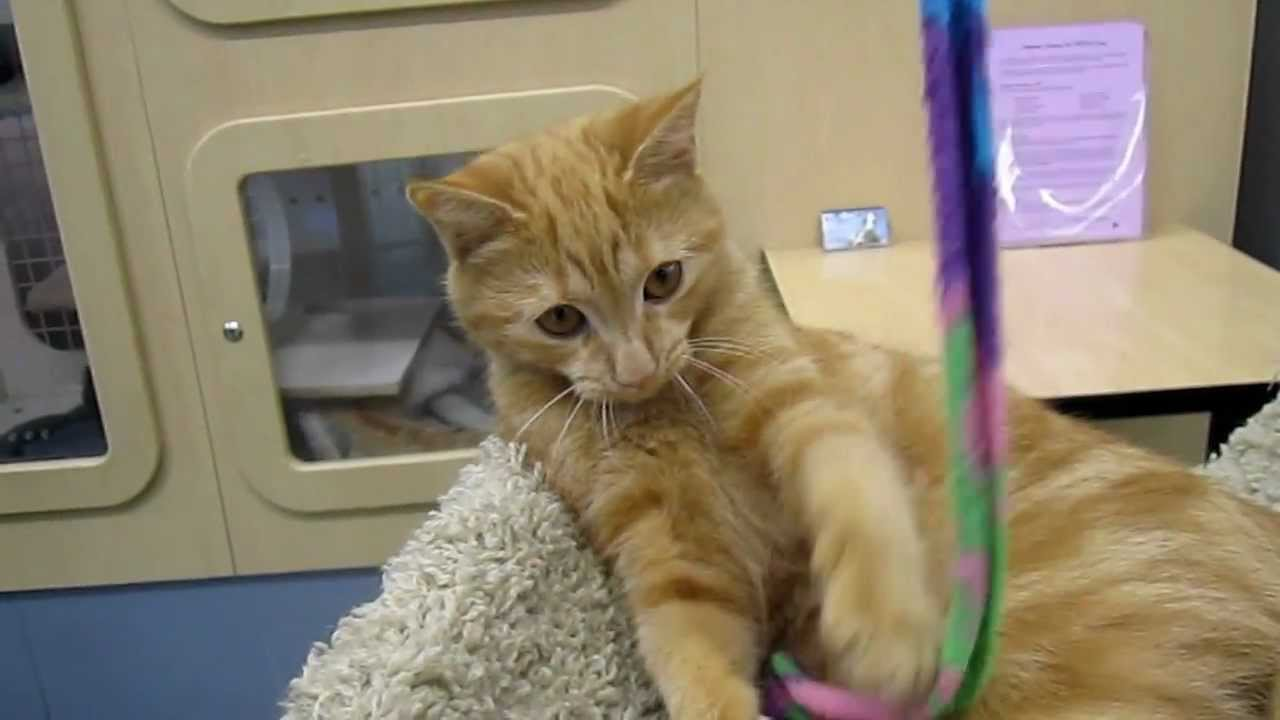 BB 4 1 2 month old female orange tabby kitten Peninsula Humane