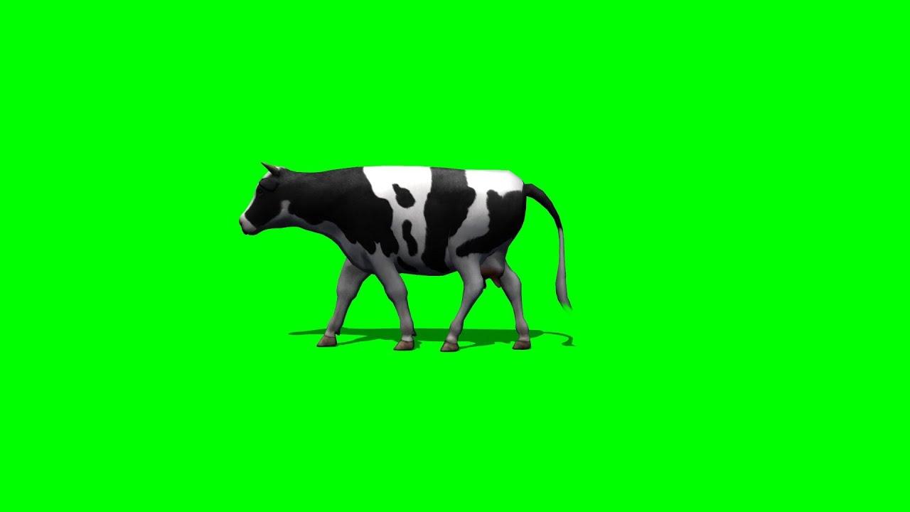cow walking - green screen 3