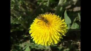 Одуванчик как полезное растение(Мы привыкли, что одуванчик - враг нашего сада. Но если посмотреть на него по-другому, то мы увидим, что он..., 2012-08-26T14:25:34.000Z)
