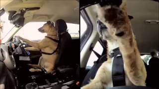 dogs driving to songs o let s do it