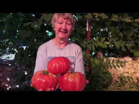 Вопрос: Томат оранж , какие отзывы, кто сажал?