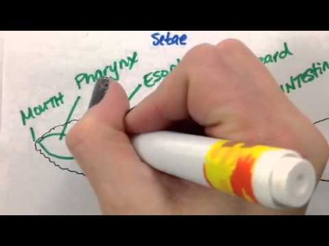 Giant Worm Diagram Circulatory System Youtube