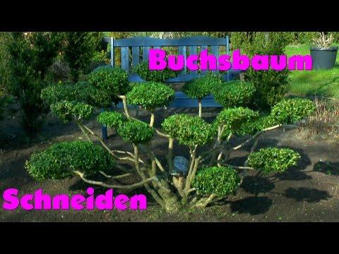 buchsbaum buxus boxwood neu gestalten re style doovi. Black Bedroom Furniture Sets. Home Design Ideas