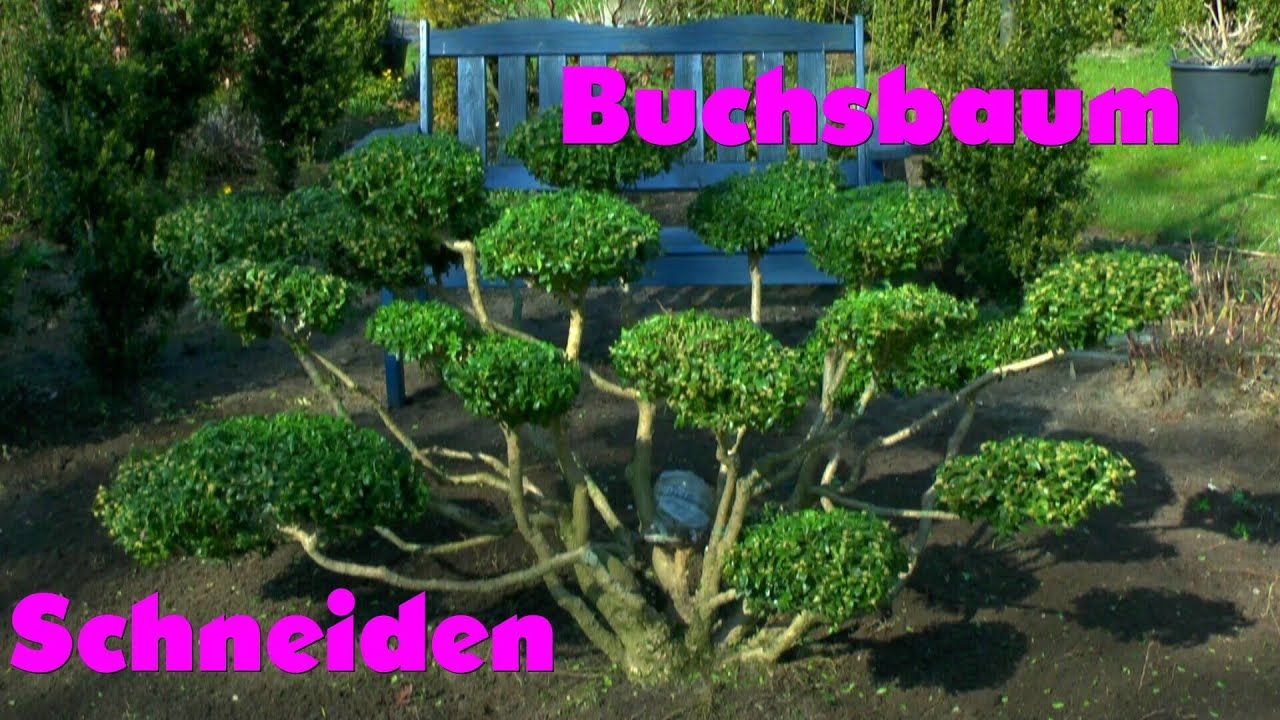 buchsbaum umpflanzen buchsbaum buxus umpflanzen youtube buchsbaum umpflanzen buchsbaum. Black Bedroom Furniture Sets. Home Design Ideas
