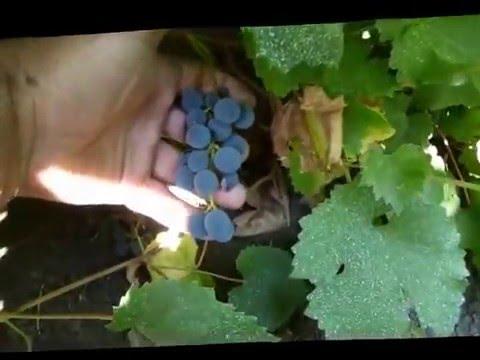 Сорт винограда Таёжный.