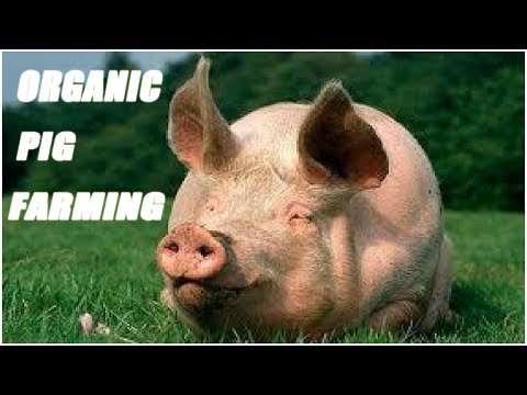 Organic Pig Farming Methods