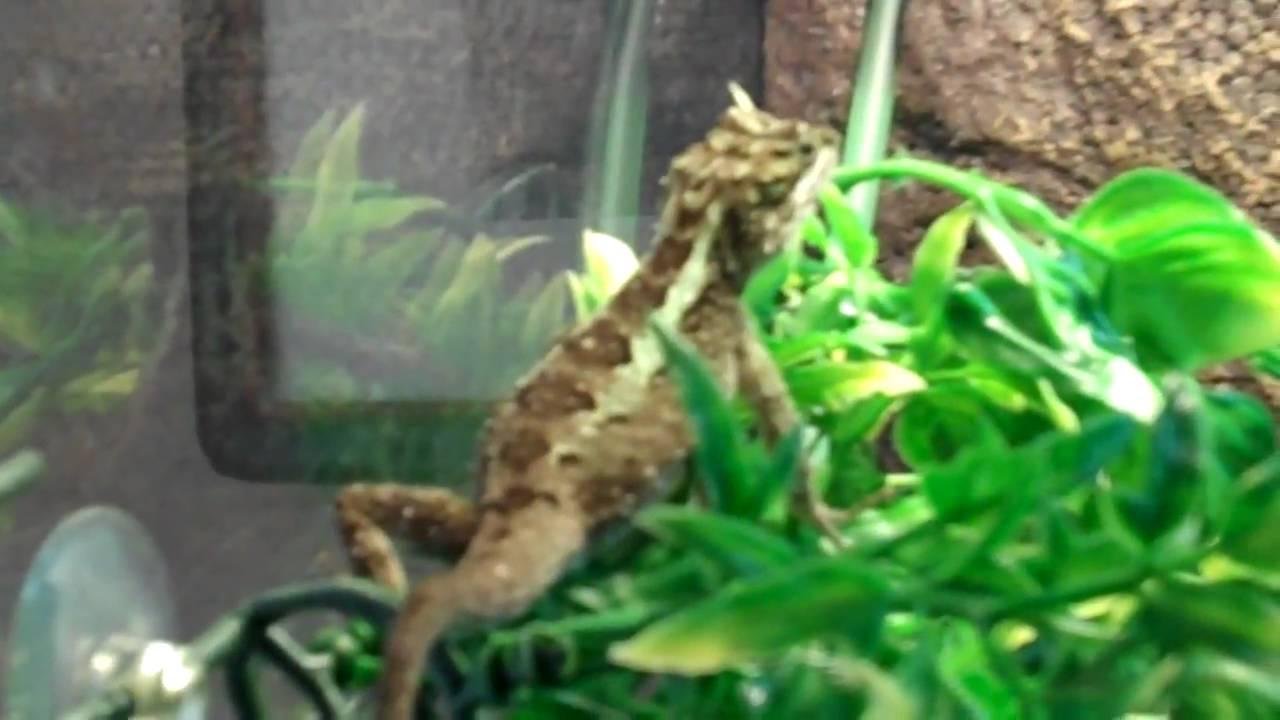Female Chinese Tree Dragon Neon Dragon Lizard Japalura Splendida