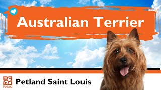 Australian Terrier Puppies | Fun Facts & Personality Traits