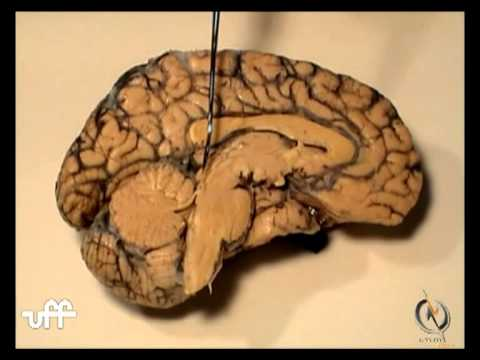 NEUROANATOMIA] Teto do Quarto Ventrículo - YouTube