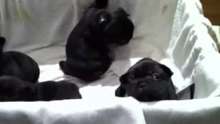 生後1ヶ月のフレンチブルドッグの子犬です。トコトコ歩きもできるよう...