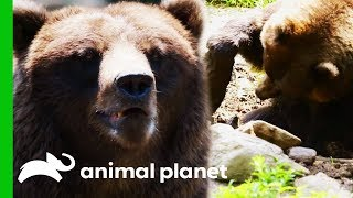 Keepers Try To Stop Bears Destroying Their Enclosure | The Zoo
