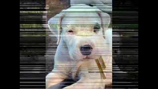 DOGO ARGENTINO - ARGENTINE DOGO - ARGENTINIAN MASTIFF thumbnail