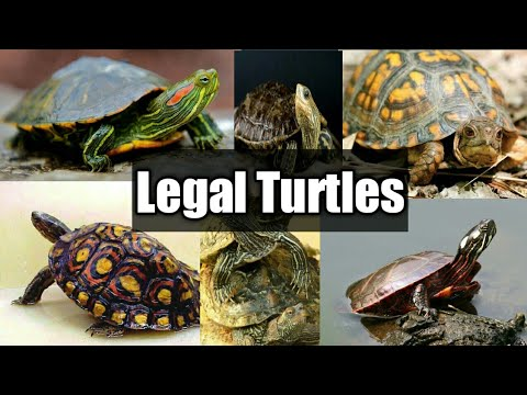 Turtles We Can Keep In India Legal Turtles India Youtube