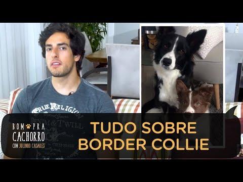 TUDO SOBRE A RAA BORDER COLLIE   BOM PRA CACHORRO