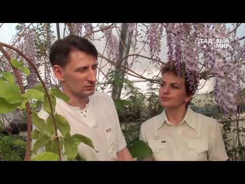 """Как вырастить глицинию. Сайт """"Садовый мир"""""""