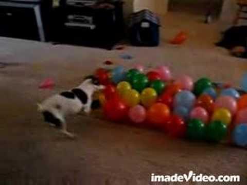 Balloon Popping Dog