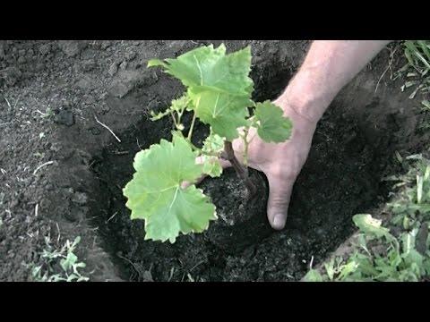 Как высадить виноград в открытый грунт