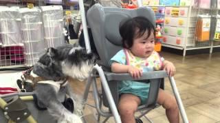 生後8か月の赤ちゃんとペットのココちゃん(シュナウザー)仲いいね.