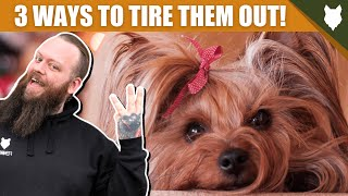 3 Tips To Tire Out Your YORKSHIRE TERRIER Puppy