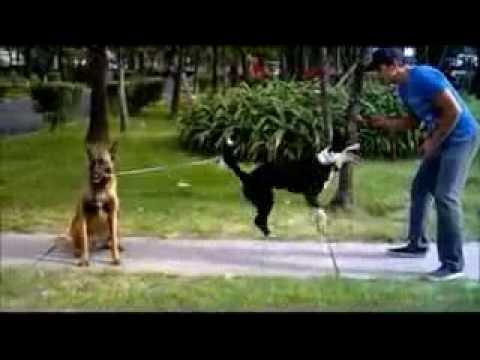 the smartest dog jumping double dutch