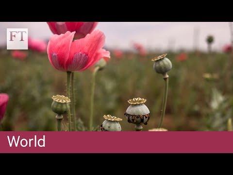 Tasmania poppy growers hit by opiate crackdown