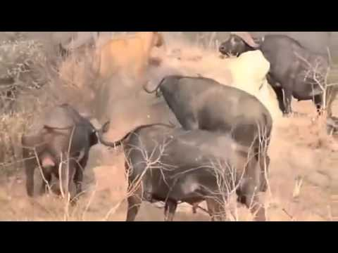 Animals   Lion Kills six Buffalo 4