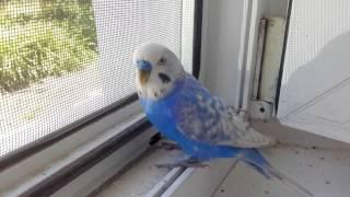 Чириканье волнистого попугайчика Стёпы