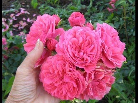 Как размножить плетистую розу весной