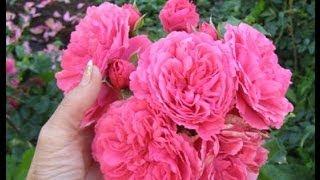 Плетистые розы.  Уход и вегетативное размножение.(Размножение плетистых роз в Сибири. Если приложить немного усилий, то в Кузбассе можно выращивать очароват..., 2014-06-05T16:05:59.000Z)
