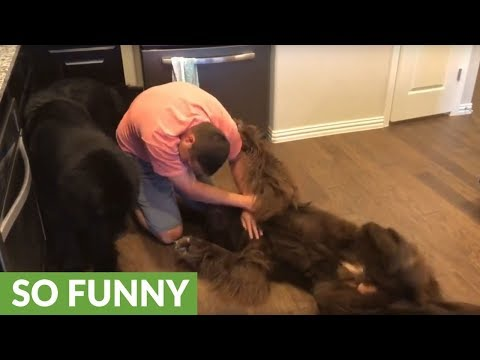Huge Newfoundland makes it impossible to workout