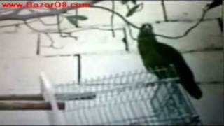 Parrot reading Quraan