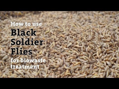 How to Use Black Soldier Flies for Biowaste Treatment