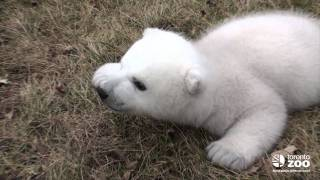 Repeat youtube video Toronto Zoo polar bear cub 2 months