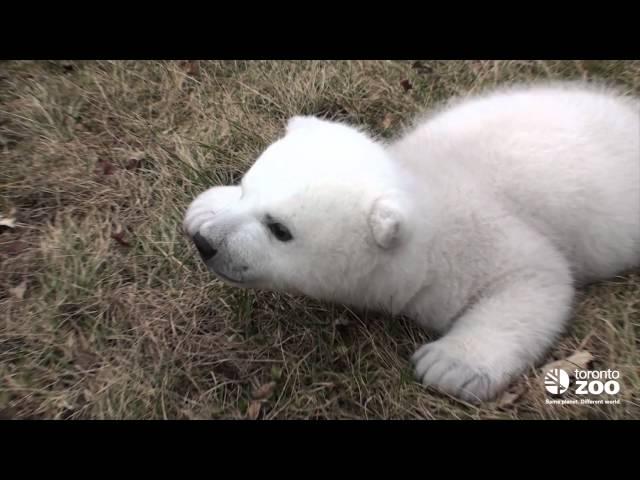 Toronto Zoo polar bear cub 2 months
