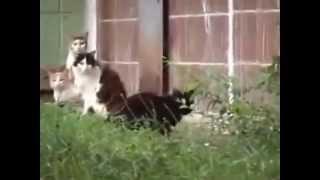 Крыса кидается на котов