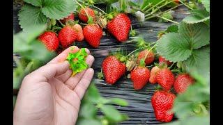 Не подкормите клубнику в августе в новом году урожая клубники не ждите,срочно смотрите этот рецепт
